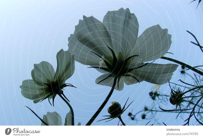 Abendstimmung weiß Blume Pflanze Blüte Stengel Blütenknospen Blütenblatt