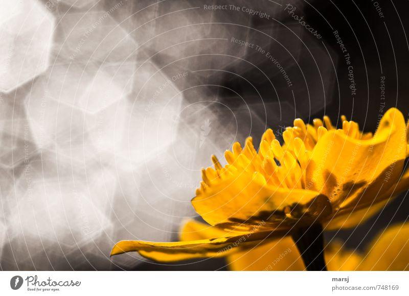 Funkeln Natur Pflanze Wasser Sonnenlicht Frühling Sommer Blüte Wildpflanze Sumpf-Dotterblumen Blühend glänzend genießen leuchten träumen einfach elegant