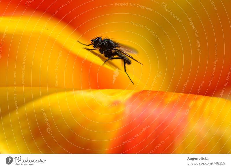 Puck ... die Stubenfliege rot ruhig Tier schwarz gelb Fliege genießen Gelassenheit Wachsamkeit