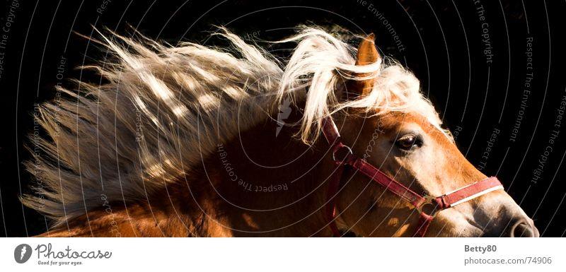 3-Wetter-Taft Bewegung Kraft rennen Pferd Mähne Pferdegangart Haflinger Pferdekopf