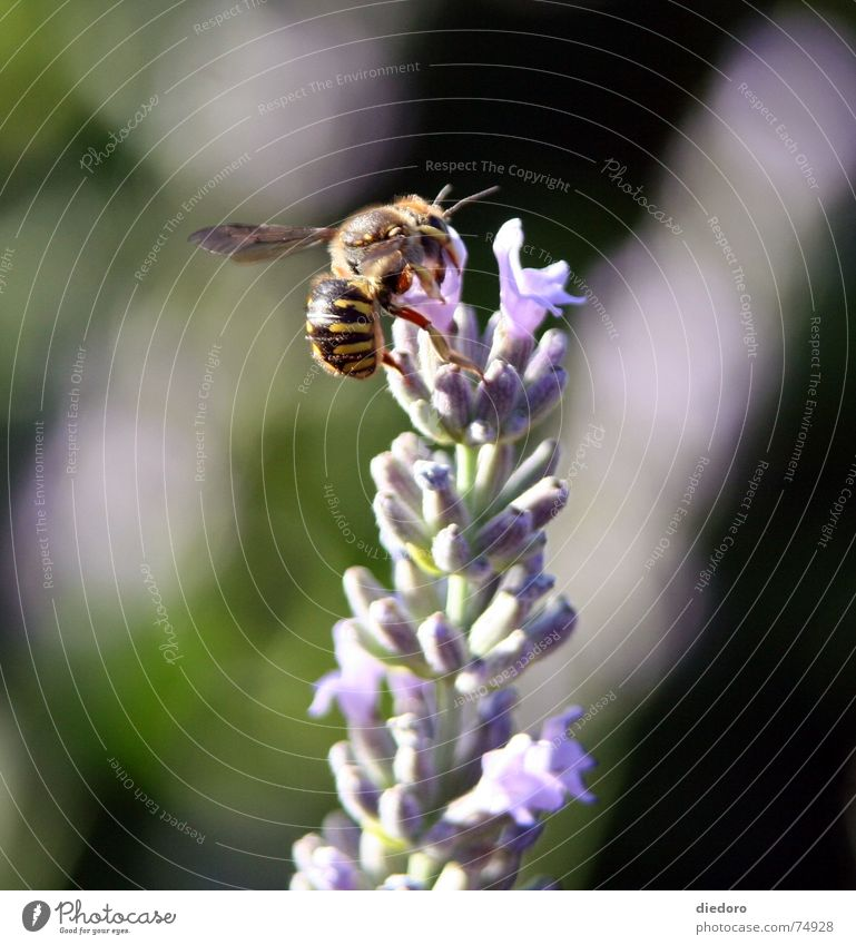 Lavendelhummel Sommer Blüte Duft Hummel