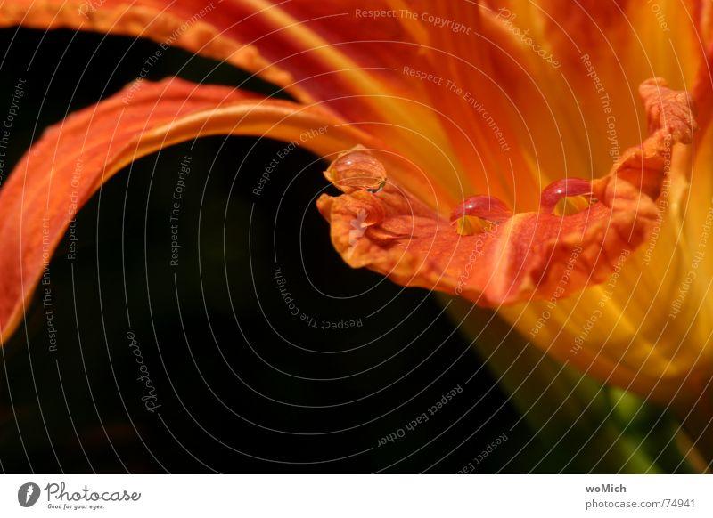 ~O~O~O~ Wassertropfen Regen nass Lilien Pflanze Spielen Fröhlichkeit Reflexion & Spiegelung tropfenwelt orange Natur Schönes Wetter Makroaufnahme