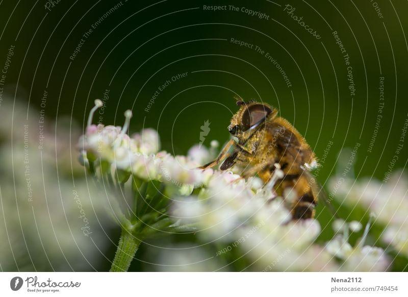 Summ summ summ Umwelt Natur Pflanze Tier Luft Sonne Frühling Sommer Schönes Wetter Blume Sträucher Blüte Wildpflanze Garten Park Wiese Wildtier Biene 1 fliegen