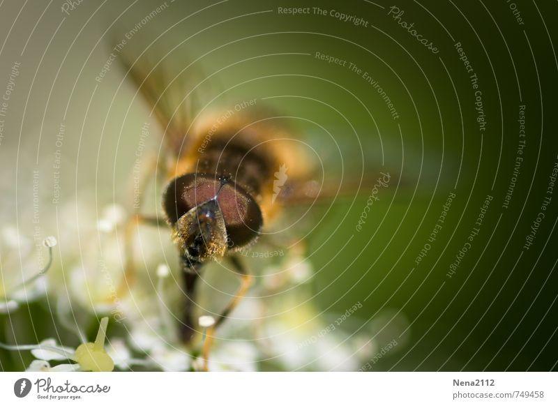 Sommerfreund Umwelt Natur Pflanze Tier Luft Frühling Schönes Wetter Wärme Blume Sträucher Blüte Garten Park Wiese Feld Fliege Biene Tiergesicht 1 Blühend stehen