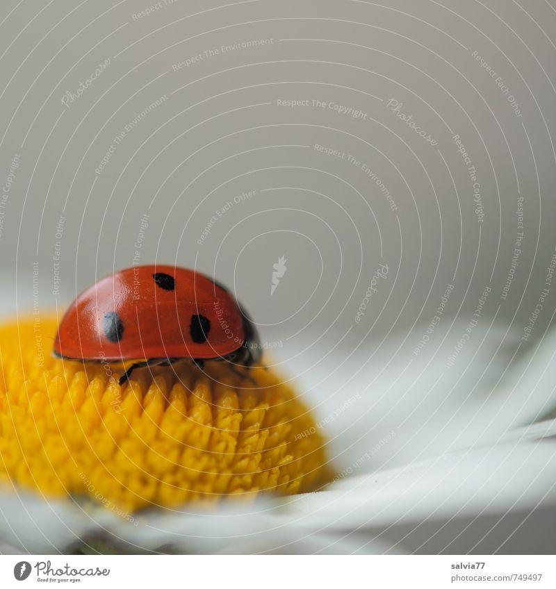 Duftkissen ruhig Meditation Valentinstag Muttertag Geburtstag Umwelt Natur Tier Frühling Sommer Blume Blüte Garten Wildtier Käfer 1 genießen glänzend Glück