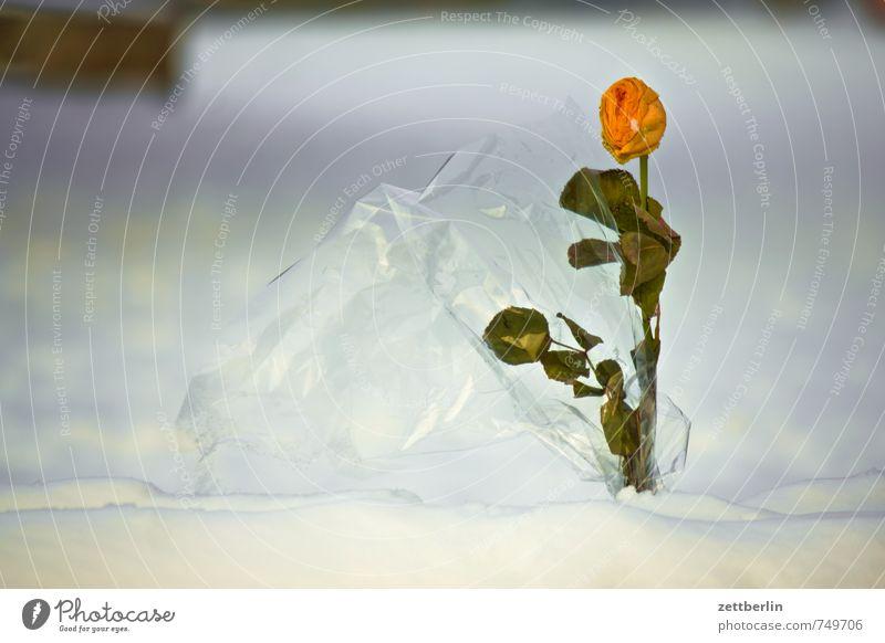 Rose im Winter Blume kalt Blüte Liebe Anti-Weihnachten Schnee Park Wetter Textfreiraum stehen Blühend Geschenk Romantik Tiefenschärfe