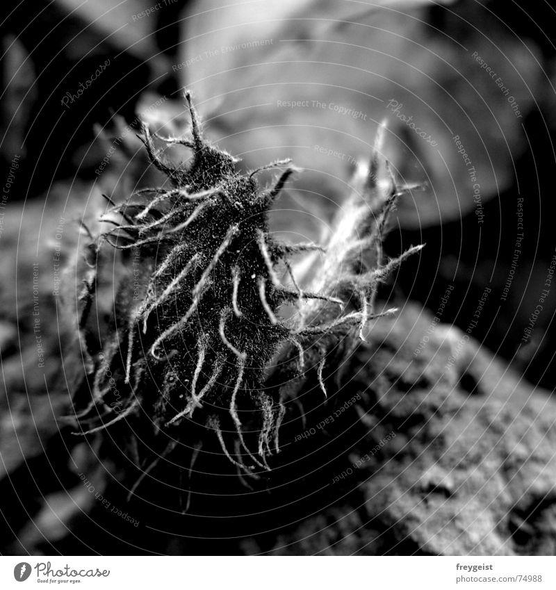 Buchecker s/w Baum schwarz weiß Herbst Öffnung offen Ernährung Nuss Nut Stachel Haare & Frisuren tree trees hair nuts woods