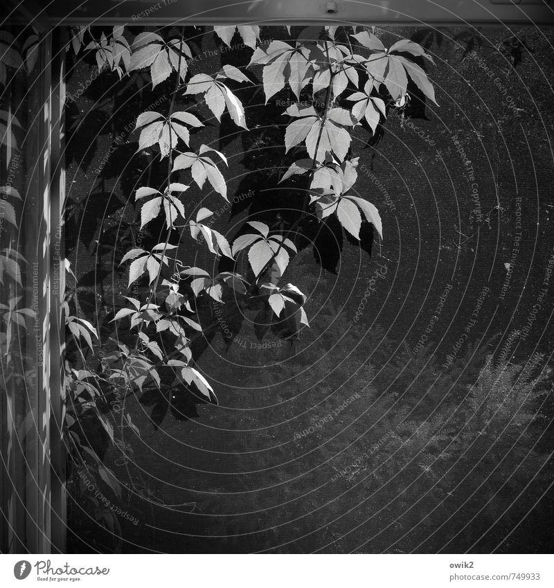 Liane Pflanze Efeu Grünpflanze Fenster hängen Wachstum Ranke Fensterscheibe Reflexion & Spiegelung Gaze Schwarzweißfoto Menschenleer Textfreiraum rechts