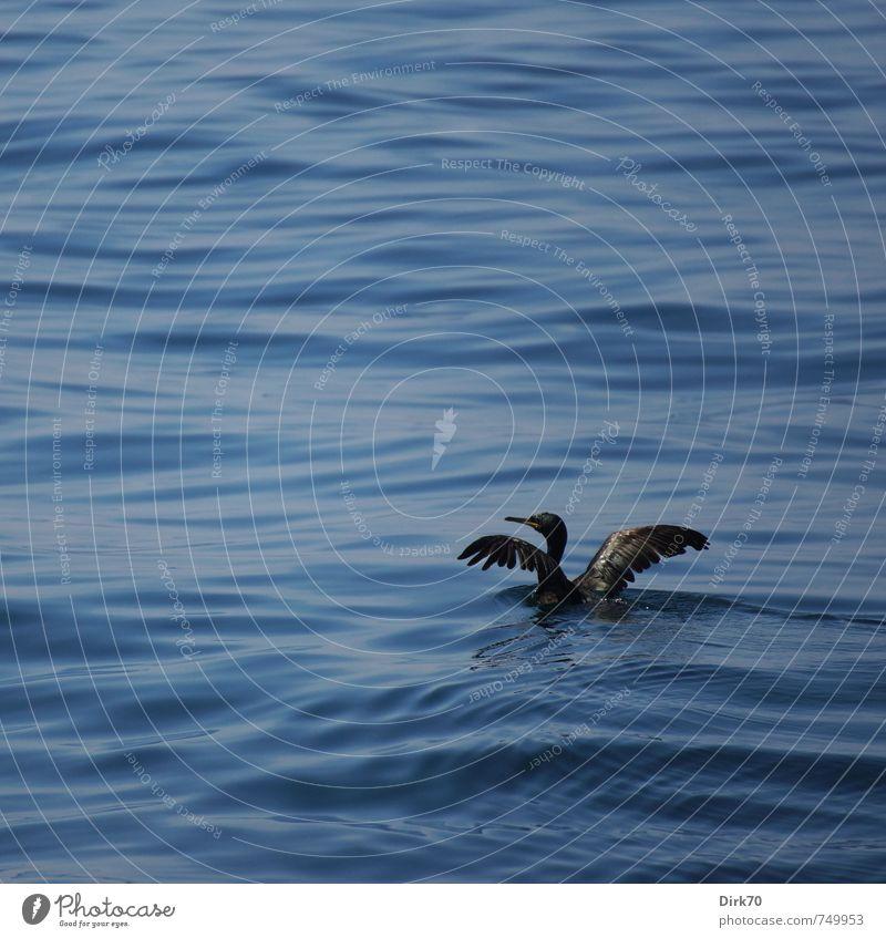 Ganz allein auf hoher See ... Natur Tier Wasser Schönes Wetter Meer Marmarameer Istanbul Türkei Wildtier Vogel Flügel Kormoran 1 Schwimmen & Baden Jagd frei