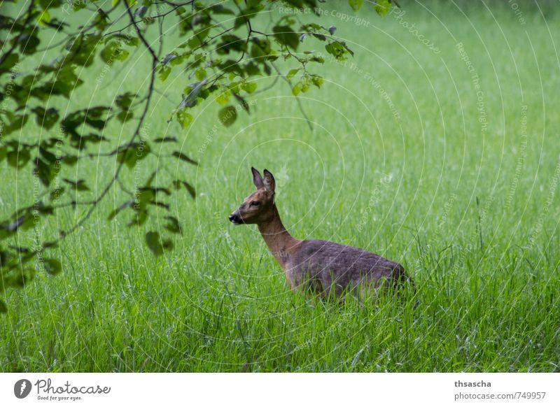 Reh spitzt die Ohren Natur schön grün Tier Tierjunges Wiese Gras braun Park elegant Wildtier authentisch Schönes Wetter Neugier Fell nah