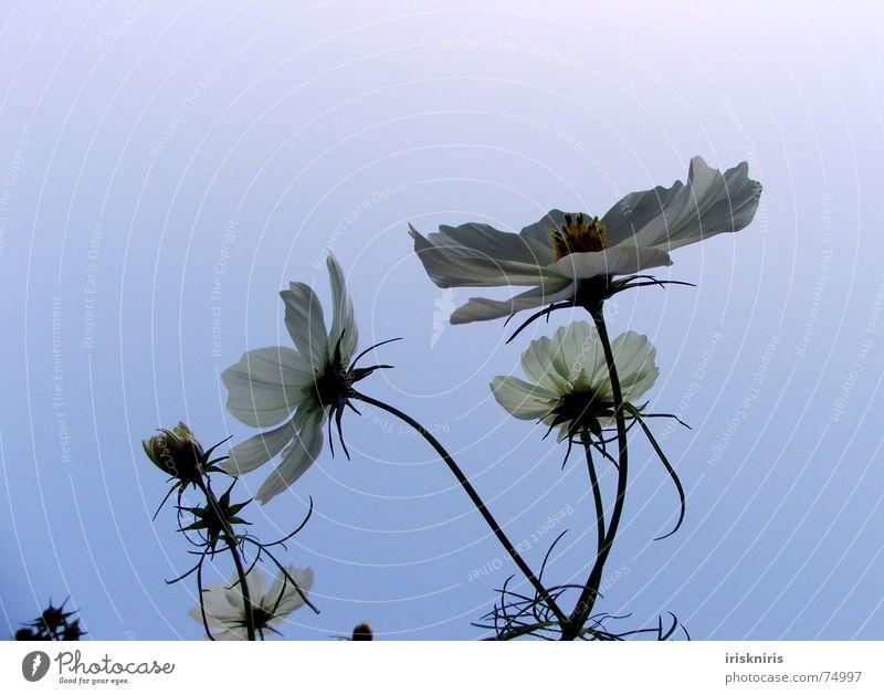 Der Sonne entgegen... Blume Pflanze Sommer ruhig Blüte Wind Blühend Verkehrswege Abenddämmerung Verlauf Schmuckkörbchen Abendsonne