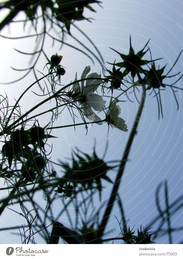In der Abendsonne Schmuckkörbchen Blüte Blume Sommer ruhig Schatten Verlauf Stern (Symbol) Blühend Wind Verkehrswege zur sonne Abenddämmerung Pflanze