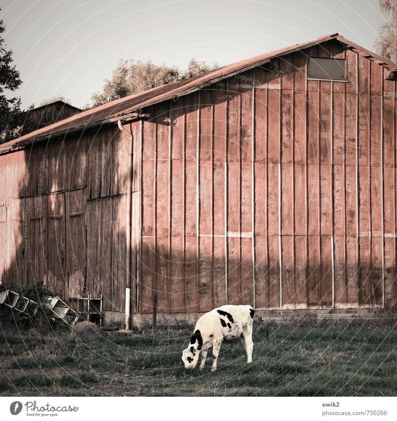 Gourmet Himmel Gras Wiese Weide Haus Gebäude Scheune Mauer Wand Fassade Kalb 1 Tier Fressen genießen stehen Zufriedenheit Lebensfreude gewissenhaft Gelassenheit