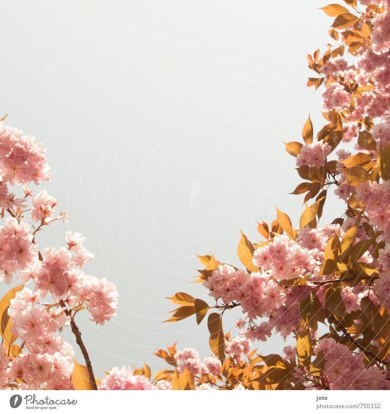 Kirschblüten II harmonisch Wohlgefühl Natur Pflanze Wolkenloser Himmel Frühling Schönes Wetter Wärme Baum Blüte Blühend Wachstum frisch hell Kitsch rosa Idylle