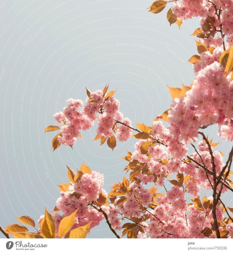 Kirschblüten I Natur Pflanze Baum Erholung Wärme Frühling Blüte Hintergrundbild rosa Idylle Wachstum frisch Schönes Wetter Blühend Ast Wandel & Veränderung
