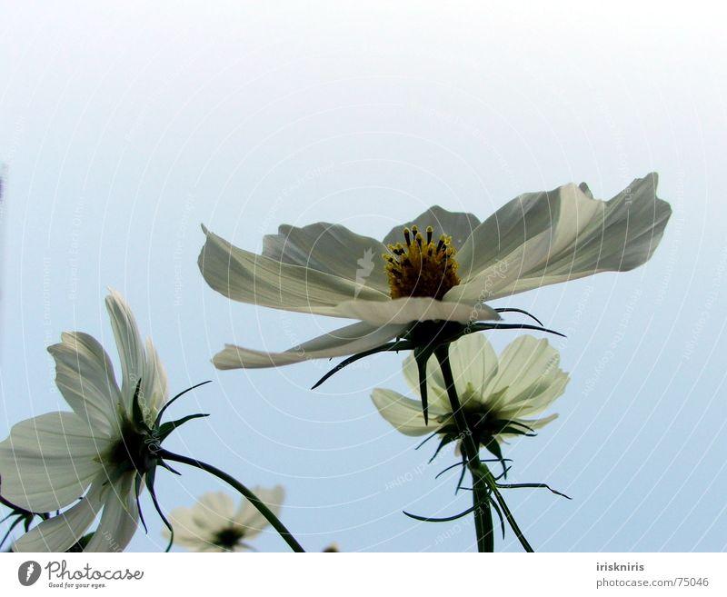 °o° Blüh °o° Blume Pflanze Sommer ruhig Blüte Wind Stern (Symbol) Blühend Verkehrswege Abenddämmerung Blütenknospen Verlauf Schmuckkörbchen Abendsonne