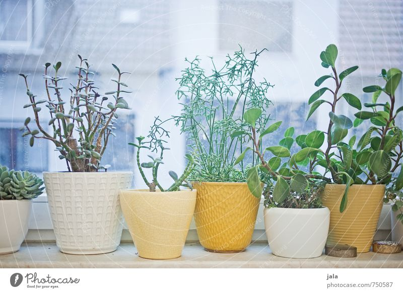zimmerpflanzen Häusliches Leben Dekoration & Verzierung Pflanze Grünpflanze Topfpflanze Fenster ästhetisch Sukkulenten Farbfoto Innenaufnahme Menschenleer Tag