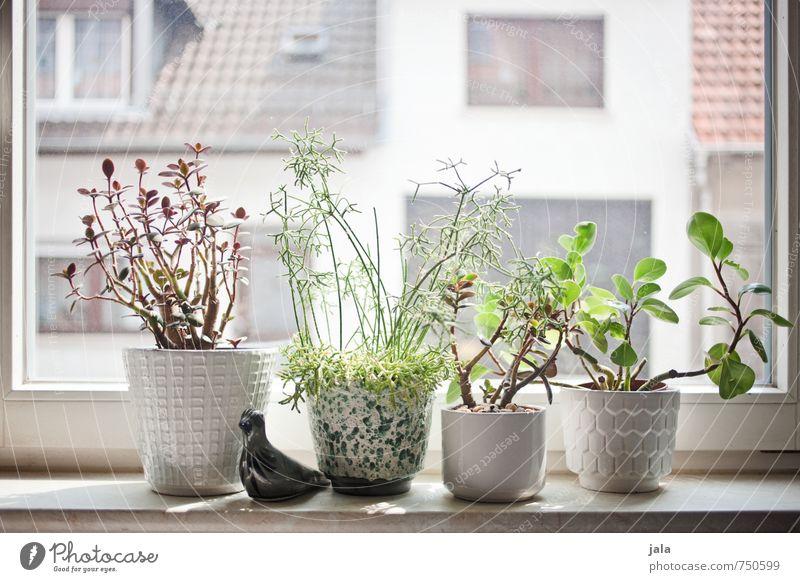 fensterbank Häusliches Leben Wohnung Dekoration & Verzierung Pflanze Grünpflanze Topfpflanze Sukkulenten Fenster Fensterbrett ästhetisch Farbfoto Innenaufnahme