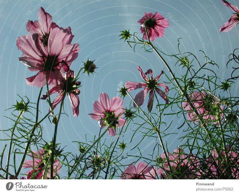 Blumenhimmel Wolken Blüte violett Gras Stengel Himmel blau Blütenknospen froschsicht sky flower blue