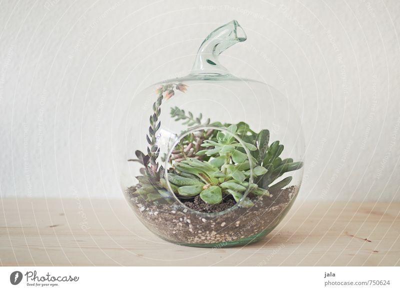 sukkulenten Häusliches Leben Wohnung Dekoration & Verzierung Pflanze Topfpflanze Sukkulenten ästhetisch elegant glasapfel Gewächshaus Farbfoto Innenaufnahme