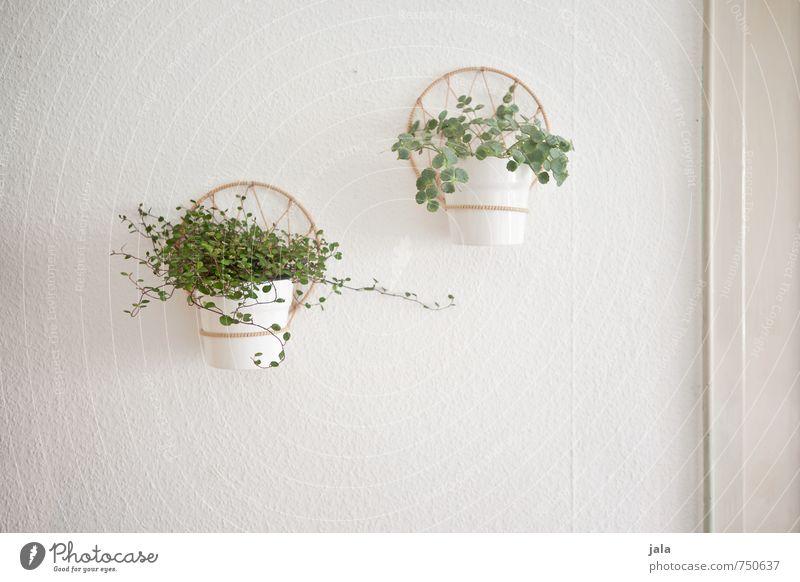 zimmerpflanze Häusliches Leben Wohnung Dekoration & Verzierung Pflanze Blatt Grünpflanze Topfpflanze Mauer Wand Fassade ästhetisch Freundlichkeit hell grün weiß