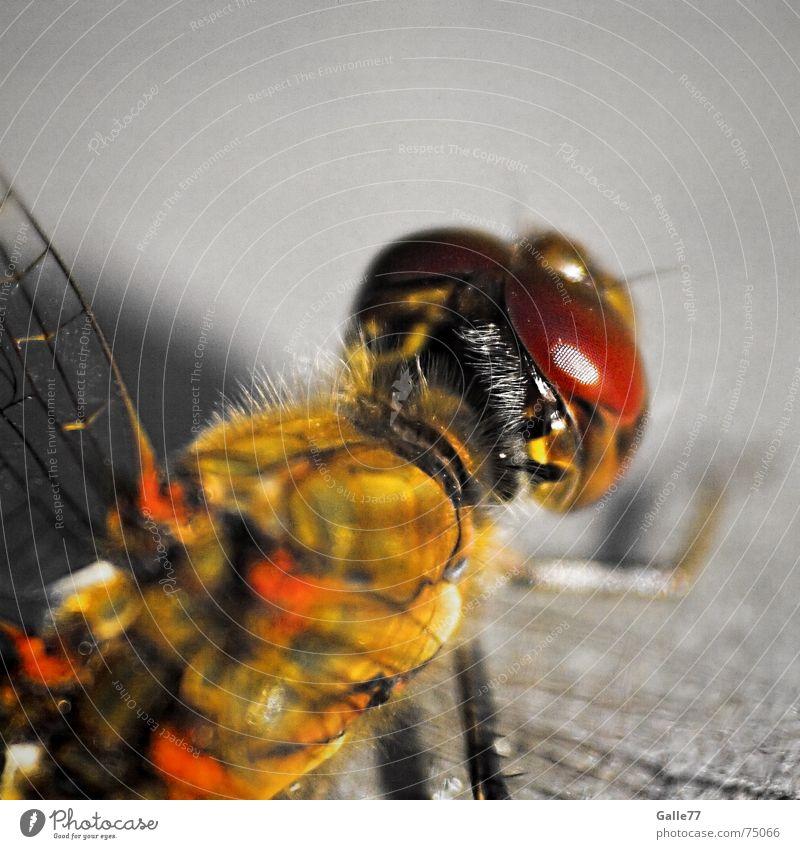 Doppeldecker III Libelle Insekt Facettenauge Fühler Borsten Flügel Auge punktaugen sehsinn fliegen fassetten flugapparat Makroaufnahme Selbstständigkeit