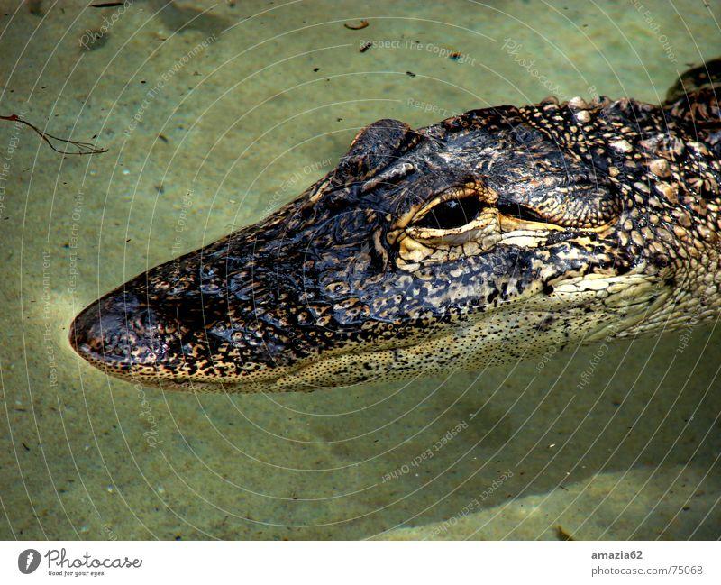 Alligator Reptil ruhig Wasser Auge gepanzert warten