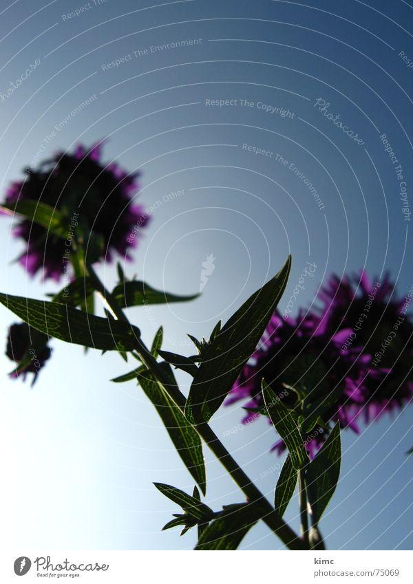 letzte sommerzuckungen Himmel Blume blau Pflanze Sommer Blüte Frühling violett