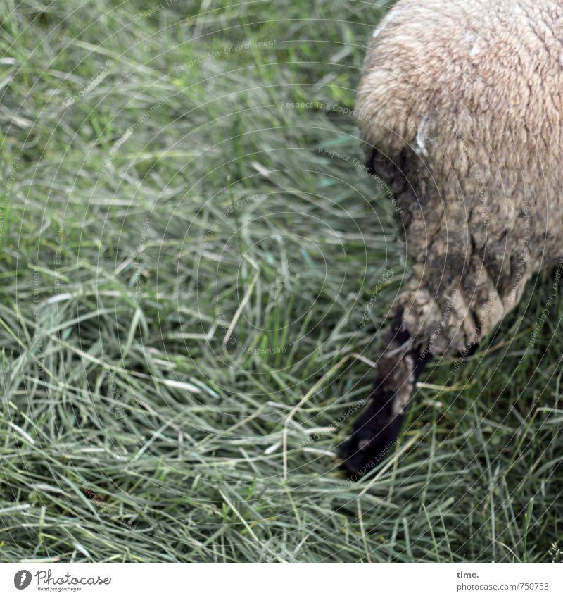 Die Sprechzeit ist um Tier Leben Wiese Wege & Pfade gehen laufen Fell Müdigkeit drehen Mobilität Schaf Trennung Abschied Frustration Nutztier Problemlösung
