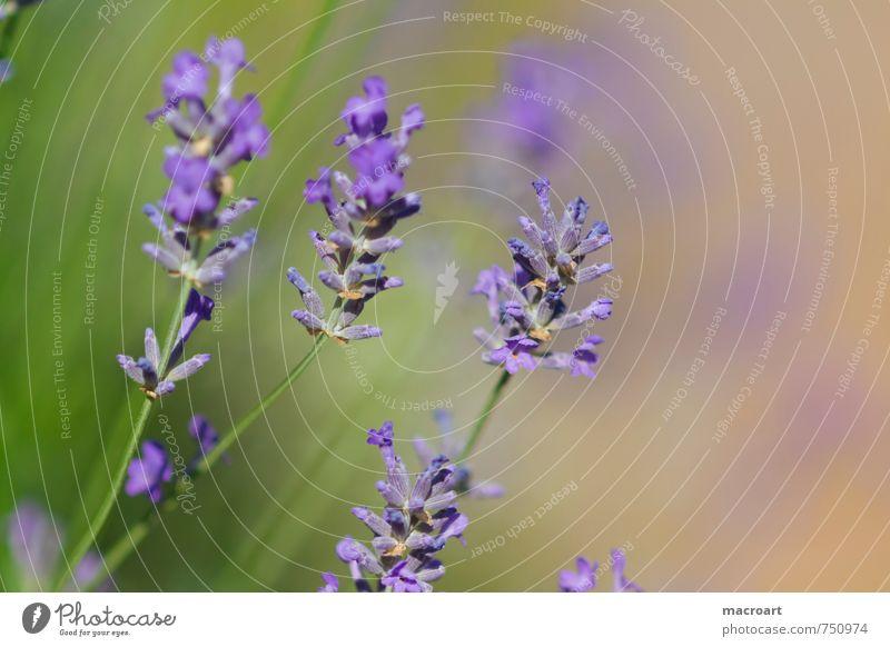 Frühling Sommer Blume Blüte natürlich Gesundheit Blühend violett Duft Geruch Rauschmittel Medikament Seele Reaktionen u. Effekte Lavendel Alternativmedizin