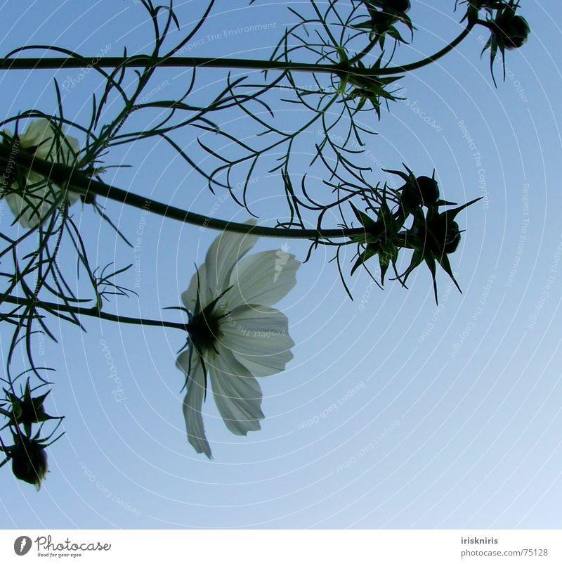 °o° blüh°oo° Blume Pflanze Sommer ruhig Blüte Wind Stern (Symbol) Blühend Verkehrswege Abenddämmerung Blütenknospen Verlauf Schmuckkörbchen Abendsonne