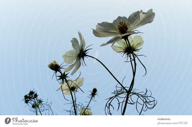 °o° blüh °ooo° Abendsonne Schmuckkörbchen Blüte Blume Sommer ruhig Schatten Verlauf Stern (Symbol) Blühend Wind Verkehrswege zur sonne Abenddämmerung Pflanze
