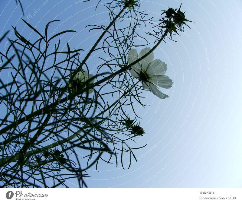 °o° blüh °oooo° Blume Pflanze Sommer ruhig Blüte Wind Stern (Symbol) Blühend Verkehrswege Abenddämmerung Blütenknospen Verlauf Schmuckkörbchen Abendsonne