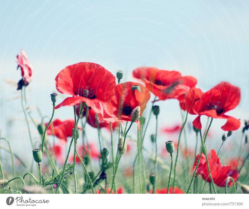 Sommerwiese Natur Landschaft Pflanze Blume rot Mohn Blumenwiese Blühend sommerlich Mohnkapsel Blüte Farbfoto Außenaufnahme Tag