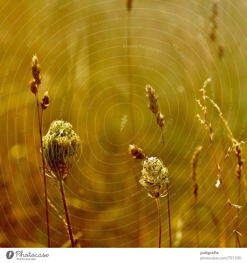 Wiese Natur Pflanze Sommer gelb Umwelt Wärme Gras Blüte natürlich braun Stimmung gold Wachstum Vergänglichkeit Duft