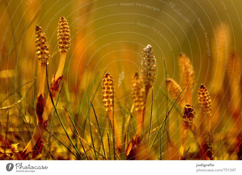 Wiese Umwelt Natur Pflanze Gras Blüte Wildpflanze leuchten Wachstum außergewöhnlich natürlich wild gelb gold Farbfoto Außenaufnahme Menschenleer Licht