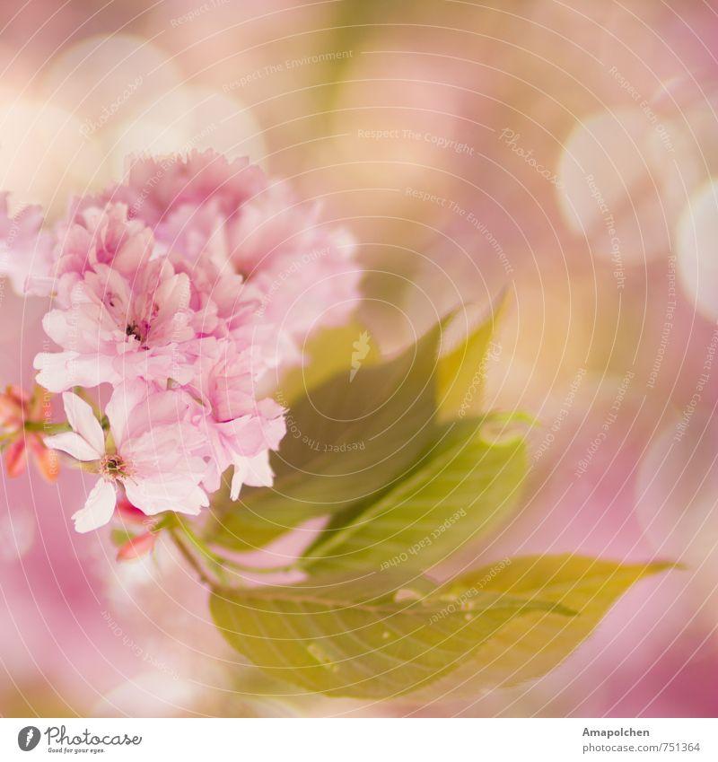 ::14-9:: Umwelt Natur Pflanze Tier Frühling Sommer Klima Baum Blume Blatt Blüte Garten Park Blühend träumen schön rosa Freude Glück Fröhlichkeit Zufriedenheit