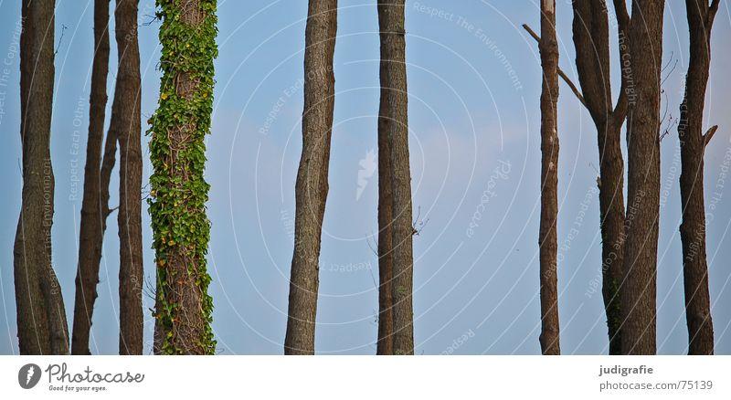 Bäume Individualist Baum Efeu Ranke Wald Waldlichtung Weststrand bewachsen Baumstamm Himmel Natur Leben Tod