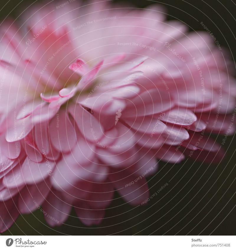 Daisy Natur Pflanze Frühling Blume Wildpflanze Gänseblümchen Jungpflanze Frühlingsblume Blütenblatt Blütenpflanze Blühend rosa Mai frisch unberührt urwüchsig