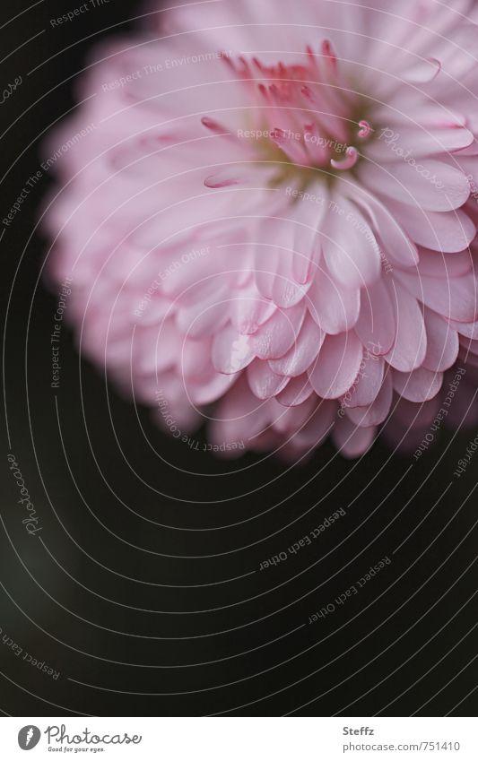 Gänseblümchen in Rosa Maiblume heimisch heimische Wildblume einheimisch Jungpflanze heimische Wildpflanze heimische Pflanzen einheimische Pflanzen
