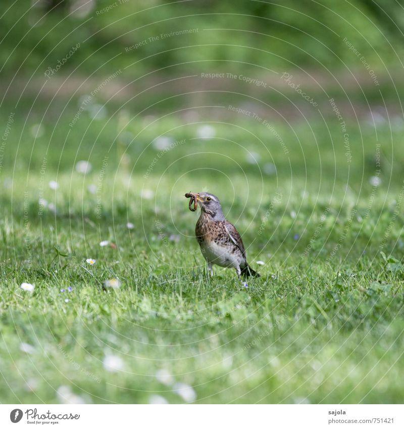 hab dich Natur Tier Frühling Gras Wiese Wildtier Vogel Wurm Wacholderdrossel 1 2 festhalten Fressen grau grün Lebensmittel Nahrungssuche Blick Beute Farbfoto