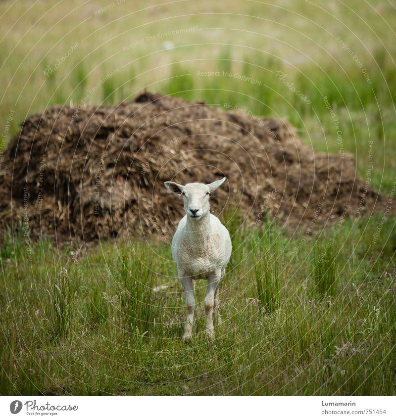 Kleinvieh macht auch Mist Landwirtschaft Forstwirtschaft Wiese Tier Nutztier Schaf 1 beobachten Blick stehen warten Freundlichkeit Fröhlichkeit groß klein