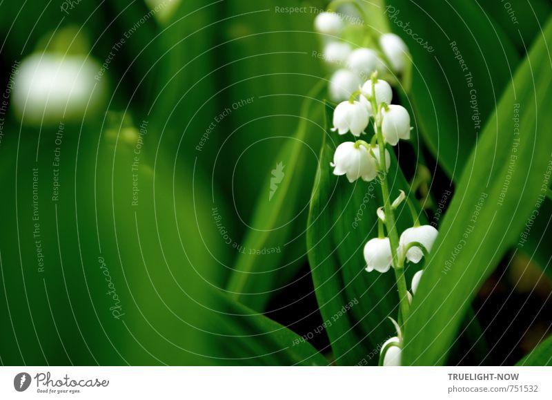 Maiglöckchen klingelingeling Natur Pflanze grün schön weiß Blume Erotik Blatt Wald Liebe Blüte Gefühle Frühling natürlich feminin Gesundheit
