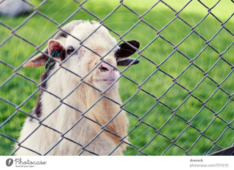 Mann alt grün Tier Gras Denken braun beobachten Zaun Barriere Tiergesicht Vater Zoo gefangen Tennisnetz Vollbart