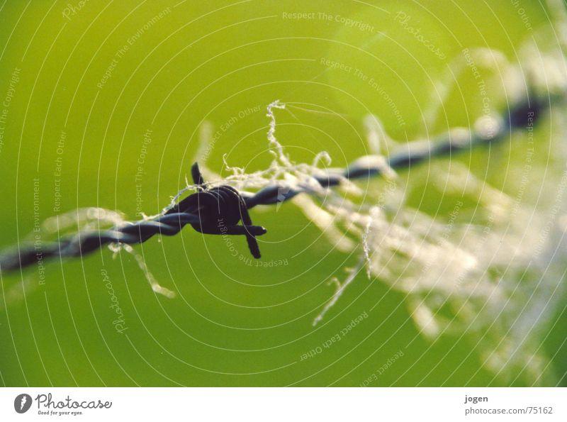 ...? grün Spitze Weide Zaun Schaf Draht Säugetier Nähgarn Wolle Stacheldraht Stacheldrahtzaun Makroaufnahme