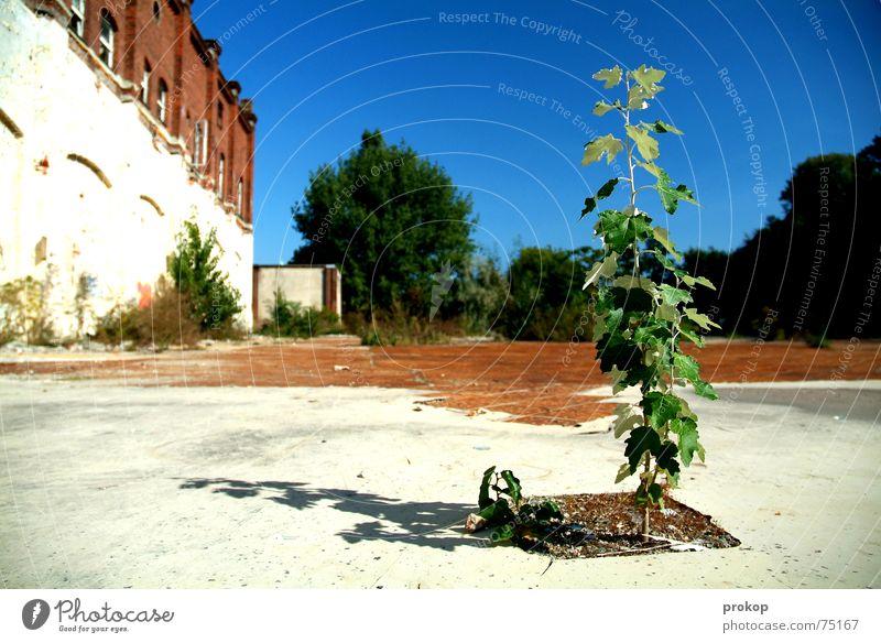 Kleiner Goliath Baum Blatt baufällig grün Mut Pflanze Ruine weiß Außenseiter Insolvenz Himmel blau Stein Erde tree little tree leaf abandoned building site hope