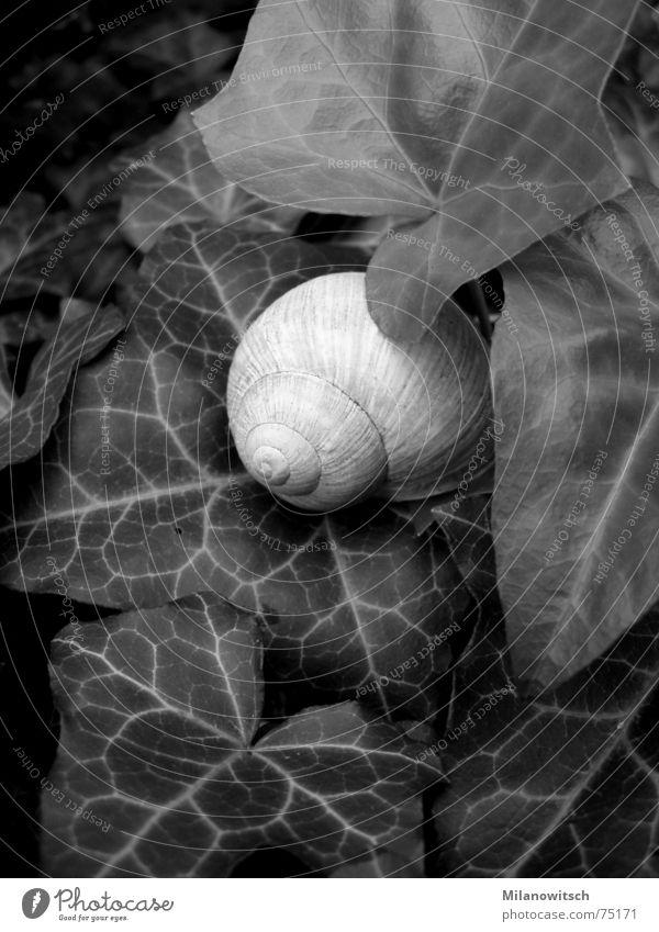 Verborgen Efeu Schneckenhaus Blatt Schwarzweißfoto Natur Pflanze verstecken