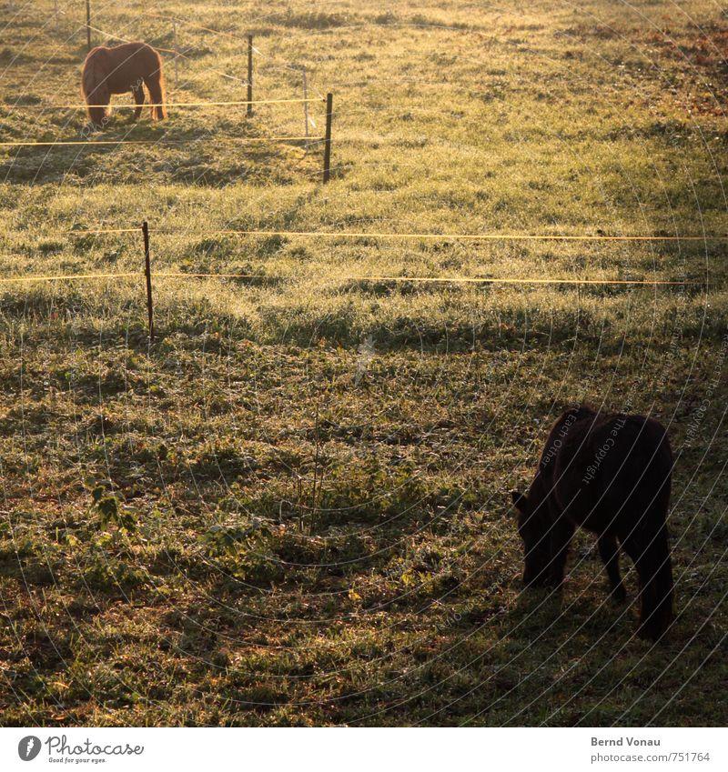 pferde-frühstück Sonne Landwirtschaft Forstwirtschaft Tier Wärme Gras Sträucher Pferd Fressen Ponys Zaun Landleben Farbfoto Außenaufnahme Menschenleer Morgen