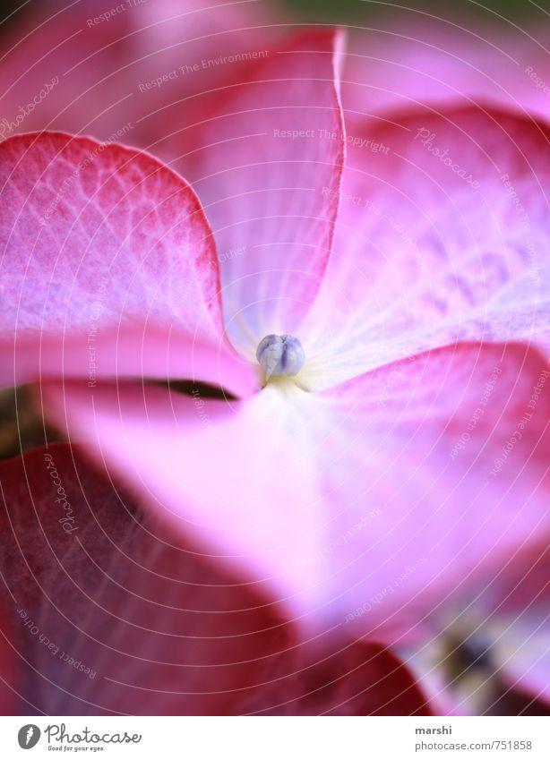 Hortensie Natur Pflanze Blume Blüte Gefühle Hortensienblüte rosa violett schön Farbfoto Nahaufnahme Detailaufnahme Makroaufnahme Tag