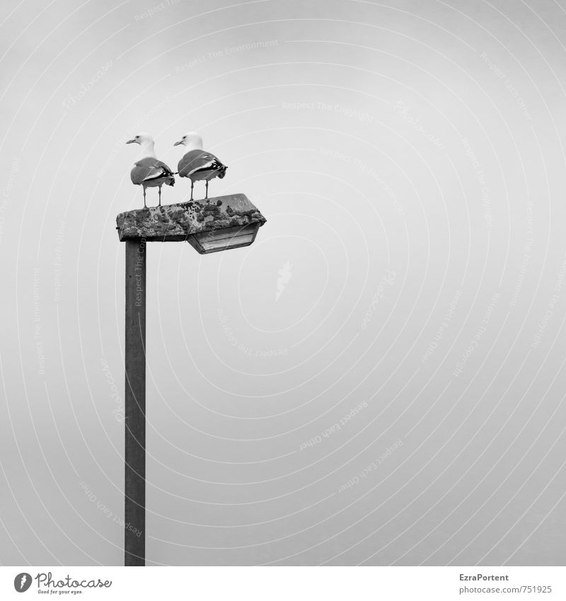 doppelter Ausblick Himmel Ferien & Urlaub & Reisen weiß Tier schwarz Vogel stehen Tierpaar paarweise Aussicht Möwe deutlich Laternenpfahl
